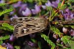 Antler Moth (Cerapteryx graminis)